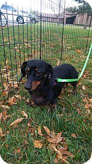 Dachshund Dog for adoption in Ogden, Utah - Bindi