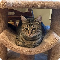 Domestic Shorthair Cat for adoption in Troy, Michigan - Tabitha