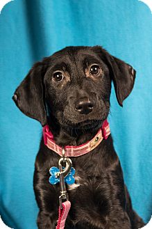 Collie/Retriever (Unknown Type) Mix Puppy for adoption in Minneapolis, Minnesota - Blossom