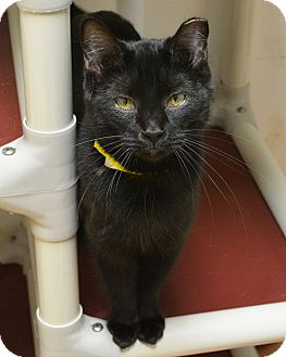 Domestic Shorthair Cat for adoption in Springfield, Illinois - Alexis
