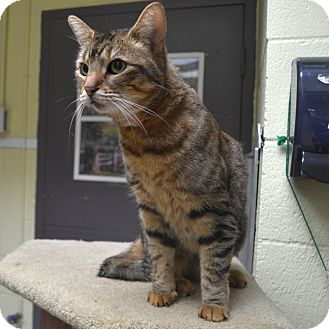 Domestic Shorthair Cat for adoption in Wheaton, Illinois - Daphne
