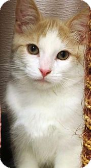 Domestic Shorthair Kitten for adoption in Kalamazoo, Michigan - Pasha