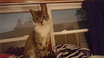 Domestic Shorthair Cat for adoption in Aurora, Illinois - Kit