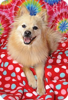 Pomeranian Mix Dog for adoption in Bedminster, New Jersey - Sambuca