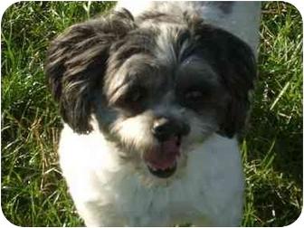 Shih Tzu/Bichon Frise Mix Dog for adoption in Brecksville, Ohio - Abigail