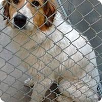 Adopt A Pet :: Sawyer-ADOPTION PENDING - Boulder, CO