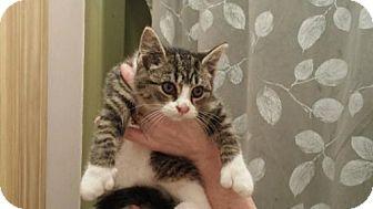 Polydactyl/Hemingway Kitten for adoption in Marlton, New Jersey - Kira