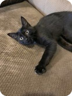 Domestic Shorthair Kitten for adoption in McHenry, Illinois - Iracebeth