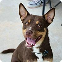 Shepherd (Unknown Type)/Rottweiler Mix Dog for adoption in Springfield, Missouri - Bruce Wayne
