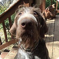 Adopt A Pet :: Gus - Denton, TX