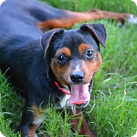 Miniature Pinscher/Pug Mix Dog for adoption in Hagerstown, Maryland - Kaia