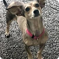 Adopt A Pet :: Ming - Auburn, WA