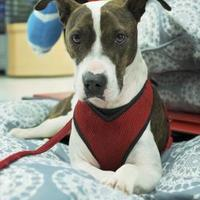Adopt A Pet :: Ginger - Florence, AL