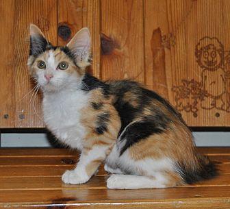 Domestic Longhair Kitten for adoption in Parsons, Kansas - Darci