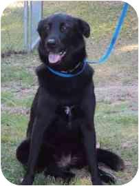 Chow Chow Mix Dog for adoption in North Charleston, South Carolina - Rosie