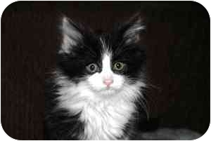 Maine Coon Kitten for adoption in Naperville, Illinois - Snookie IS ADOPTED