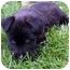 Photo 3 - Schnauzer (Miniature)/Terrier (Unknown Type, Small) Mix Puppy for adoption in Overland Park, Kansas - Chelsea