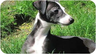 Italian Greyhound Mix Puppy for adoption in Croton, New York - Terry
