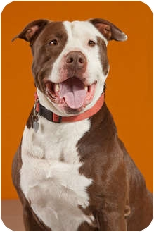 Pit Bull Terrier Dog for adoption in Portland, Oregon - Ms. Chance