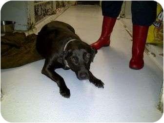 Labrador Retriever Dog for adoption in manville, New Jersey - Daisy