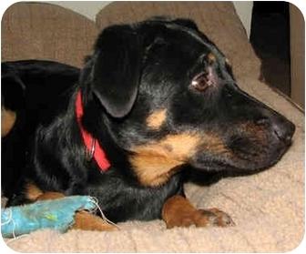 Rottweiler/Catahoula Leopard Dog Mix Puppy for adoption in Cedar Creek, Texas - Jada