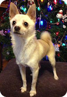 Chihuahua Dog for adoption in Snohomish, Washington - Liam
