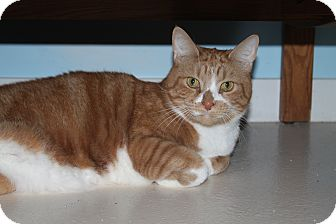 Domestic Shorthair Cat for adoption in North Branford, Connecticut - Henry