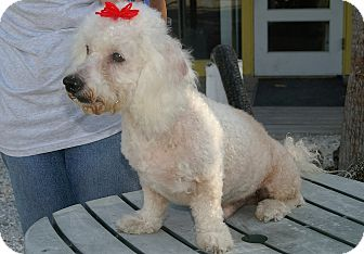 Poodle (Miniature) Dog for adoption in Englewood, Florida - Baby