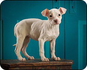 Boxer/Labrador Retriever Mix Puppy for adoption in Owensboro, Kentucky - Piglet