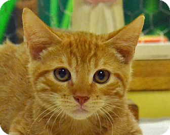 Domestic Shorthair Cat for adoption in Searcy, Arkansas - Ceasar
