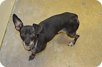 Chihuahua/Dachshund Mix Dog for adoption in Morgantown, West Virginia - Sasha