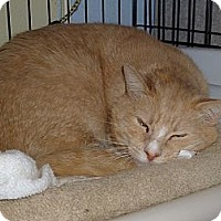 Domestic Shorthair Cat for adoption in Middletown, Connecticut - Oliver