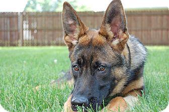 German Shepherd Dog Dog for adoption in Rochester/Buffalo, New York - Scout