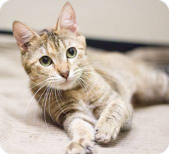 Domestic Shorthair Cat for adoption in Chicago, Illinois - Autumn
