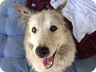 Husky/Alaskan Malamute Mix Dog for adoption in Los Angeles, California - Koda - sweet senior needs love