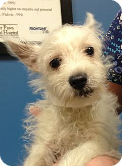 Westie, West Highland White Terrier Puppy for adoption in Fairview Heights, Illinois - Eric