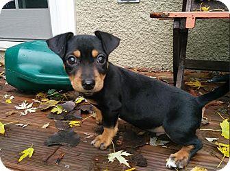 Dachshund/Chihuahua Mix Puppy for adoption in Hainesville, Illinois - Malik