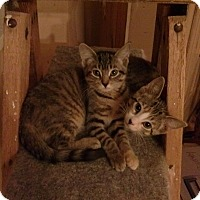 Adopt A Pet :: Sweet Pea - Toronto, ON