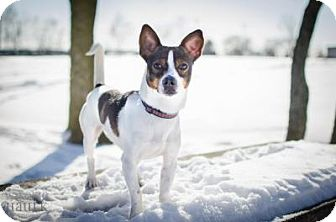 Jack Russell Terrier Mix Dog for adoption in Dublin, Ohio - Rambo