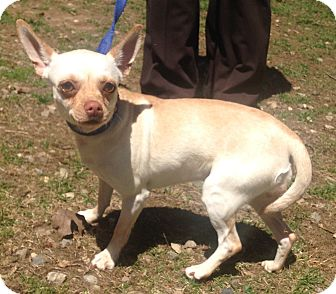 Chihuahua Mix Dog for adoption in Bloomfield, Connecticut - Faylinn