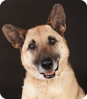 German Shepherd Dog Mix Dog for adoption in Chicago, Illinois - Bailey