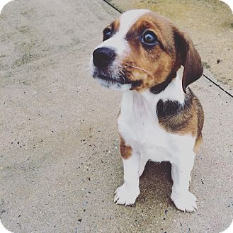 Shepherd (Unknown Type)/Beagle Mix Puppy for adoption in Lima, Pennsylvania - Puck