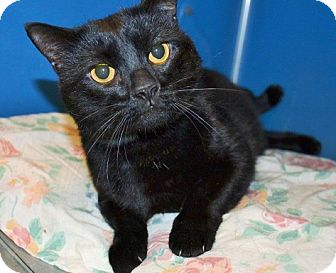 Domestic Shorthair Cat for adoption in Richmond, Virginia - Jet