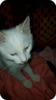 Siamese Kitten for adoption in Smithfield, North Carolina - Thea
