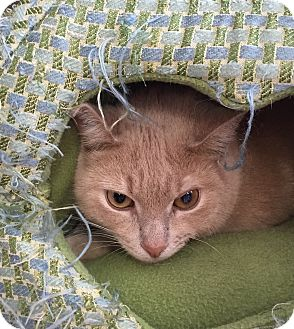 Domestic Shorthair Cat for adoption in Middletown, New York - Boost