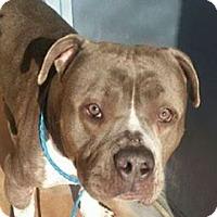 Pit Bull Terrier/American Pit Bull Terrier Mix Dog for adoption in Sacramento, California - Armor