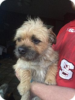 Shih Tzu/Terrier (Unknown Type, Small) Mix Dog for adoption in Rocky Mount, North Carolina - Lance