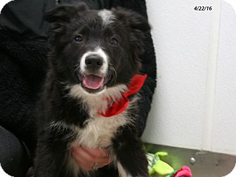 Border Collie/Australian Cattle Dog Mix Puppy for adoption in Republic, Washington - Baloo