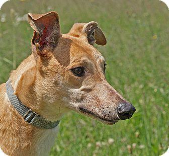 Greyhound Dog for adoption in Portland, Oregon - Rio