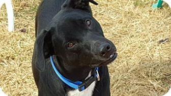 Labrador Retriever/Border Collie Mix Dog for adoption in Harrisonburg, Virginia - Rascal (ETAA)
